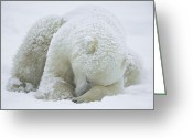 Ursus Maritimus Greeting Cards - Polar Bear Ursus Maritimus Sleeping Greeting Card by Konrad Wothe
