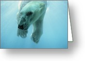 Carnivores Greeting Cards - Polar Bear Ursus Maritimus Swimming Greeting Card by Niels Kooyman