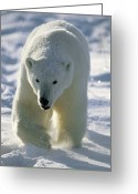 Ursus Maritimus Greeting Cards - Polar Bear Ursus Maritimus Walking Greeting Card by Konrad Wothe