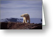 Number Circle Greeting Cards - Polar Bear Walking Along A Ridge Greeting Card by Norbert Rosing