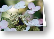 Love Making Greeting Cards - Pollen and Nectar Feeding Fly 10 Greeting Card by Douglas Barnett