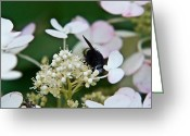 Love Making Greeting Cards - Pollen and Nectar Feeding Fly 8 Greeting Card by Douglas Barnett