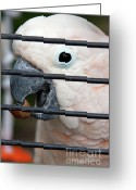 Cute Cockatoo Greeting Cards - Polly has a nutshell Greeting Card by Alan Look