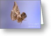 Antheraea Polyphemus Greeting Cards - Polyphemus Moth In Flight Greeting Card by Ted Kinsman