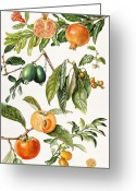 Persimmons Greeting Cards - Pomegranate and other fruit Greeting Card by Elizabeth Rice