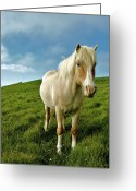 Livestock Greeting Cards - Pony On Mykines Greeting Card by © Rune S. Johnsson