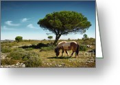 Pine Tree Greeting Cards - Pony Pasturing Greeting Card by Carlos Caetano
