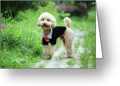 Panting Dog Greeting Cards - Poodle Wearing Suit Greeting Card by Photography by Bobi