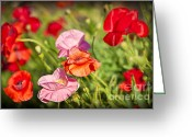 Summer Garden Greeting Cards - Poppies in a garden Greeting Card by Elena Elisseeva