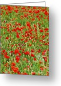 Grains Greeting Cards - Poppies in rye Greeting Card by Elena Elisseeva