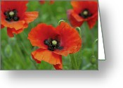 Rebellion Greeting Cards - Poppies Greeting Card by Photo by Judepics