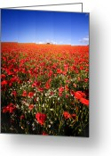 Spectacle Greeting Cards - Poppy Field Greeting Card by Meirion Matthias