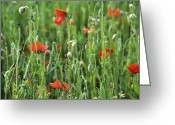 Wild Grass Greeting Cards - Poppy (papaver Sp.) Flowers Greeting Card by Veronique Leplat
