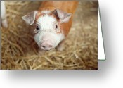 Livestock Greeting Cards - Porquet Greeting Card by Roc Canals Photography