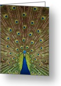 Ceremony Greeting Cards - Portrait and close up of peacock Greeting Card by Anek Suwannaphoom