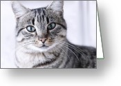 Head Greeting Cards - Portrait Gray Tabby Cat Greeting Card by Maika 777