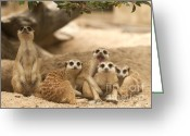 Standing Meerkat Photo Greeting Cards - Portrait group of meerkat Greeting Card by Anek Suwannaphoom
