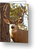 Rut Greeting Cards - Portrait of a 15-point Buck Greeting Card by Max Allen