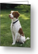 Spaniels Greeting Cards - Portrait Of A Brittany Spaniel Greeting Card by Paul Damien