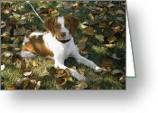 Spaniels Greeting Cards - Portrait Of A Brittany Spaniel Puppy Greeting Card by Paul Damien