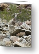 Contact Greeting Cards - Portrait Of A Desert Big Horn Sheep Greeting Card by Rich Reid