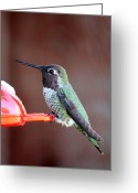 Perched Birds Greeting Cards - Portrait of a Hummingbird Greeting Card by Carol Groenen