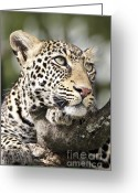 Staring Greeting Cards - Portrait of a Leopard Greeting Card by Richard Garvey-Williams