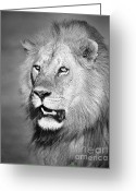 African Cats Greeting Cards - Portrait of a Lion Greeting Card by Richard Garvey-Williams
