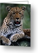 Animal Life Cycles Greeting Cards - Portrait Of A Male Ten-month-old Greeting Card by Chris Johns