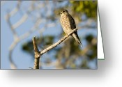 Sanibel Island Greeting Cards - Portrait Of A Merlin Falco Columbarius Greeting Card by Tim Laman