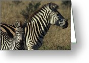 Formerly Greeting Cards - Portrait Of A Plains Zebra And Her Foal Greeting Card by James L. Stanfield