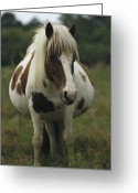 Wild Horses Greeting Cards - Portrait Of A Pregnant Assateague Wild Greeting Card by James L. Stanfield