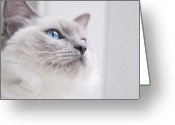 Blue Eyes Greeting Cards - Portrait Of A Ragdoll Cat Greeting Card by Rachel Devine