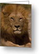 Resting Animals Greeting Cards - Portrait Of A Resting Male African Greeting Card by Beverly Joubert
