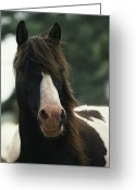 Wild Horses Greeting Cards - Portrait Of A Wild Assateague Pony Greeting Card by James L. Stanfield