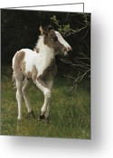 Wild Horses Greeting Cards - Portrait Of A Wild Pony Foal Greeting Card by James L. Stanfield