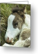 Refuges Greeting Cards - Portrait Of A Wild Pony Foal Sleeping Greeting Card by James L. Stanfield