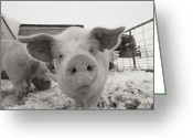 Snow Scenes Greeting Cards - Portrait Of A Young Pig. Property Greeting Card by Joel Sartore