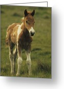 Wild Horses Greeting Cards - Portrait Of A Young Wild Pony Foal Greeting Card by James L. Stanfield