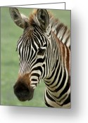 Zebra Greeting Cards - Portrait of a Zebra Greeting Card by Barbara  White