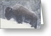 Horns Greeting Cards - Portrait Of An American Bison Greeting Card by Michael Melford