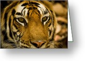 Image Type Photo Greeting Cards - Portrait Of An Indian Tiger Panthera Greeting Card by Beverly Joubert