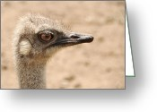 Head-shot Greeting Cards - Portrait of an  ostrich Greeting Card by Laura Melis