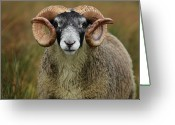 Animal Portrait Greeting Cards - Portrait Of Horned Ram In Rain Greeting Card by Dominique Walterson