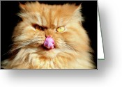 Turkey Greeting Cards - Portrait Of Licking Persian Cat Greeting Card by Hulya Ozkok