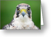 Animal Portrait Greeting Cards - Portrait Of Peregrine Falcon Greeting Card by Michal Baran