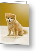 Yellow Dog Greeting Cards - Portrait Of Pomeranian Greeting Card by Tooga