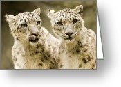 Leopards Greeting Cards - Portrait Of Two Captive Snow Leopards Greeting Card by Tim Laman