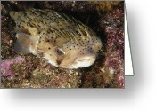 Marine Animal Greeting Cards - Porupinefish Close-up Portrait Sleeping Greeting Card by James Forte