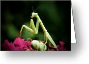 Mantis Greeting Cards - Poser Greeting Card by Karen M Scovill